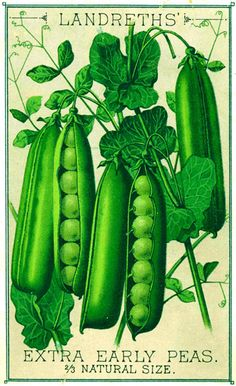 Landreths is the oldest seed company in the country. Vintage Seed CatalogLandreths is the oldest seed company in the country. Vintage Diy, Vintage Labels, Vintage Images, Vintage Prints, Vintage Posters, Vintage Seed Packets, Illustration Botanique, Seed Packaging, Vintage Gardening