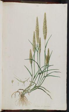 < > Gastridium ventricosum (Gouan) Flora Graeca (drawings), vol. 1: t. 65 (1806)