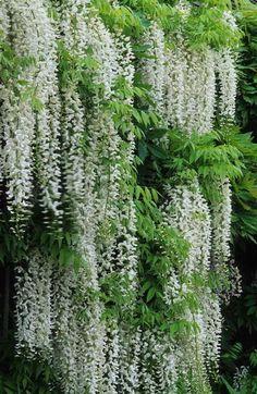 graceful Wisteria floribunda 'Alba' - spring flowering scented climber