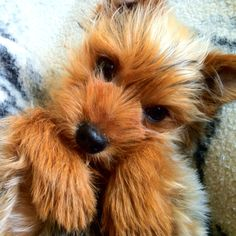 Yorkshire Terrier! Kona!