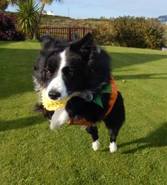 """""""I'm taking myself Off Connie...See ya after Halloween"""" says Asha the border collie running scared that too many people want to squeeze her as she looks too tempting as a Pumpkin and doesn't want to be squashed..."""