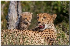 A newborn Cheetah peers over his new world behind the safety of his mama's back!