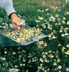 This will be me in a few months, harvesting that sweet chamomile to dry and make into tea. One of my favorite summer garden tasks!