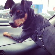 Lost Dog - Manchester Terrier - Hamilton, ON, Canada