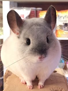 Cute Rats, Cute Funny Animals, Cute Baby Animals, Animals And Pets, Chinchillas, Chinchilla Cute, Puppies And Kitties, Cute Mouse, Fluffy Animals