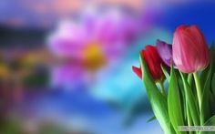 Colorful Tulips Beautiful Flower Wallpaper