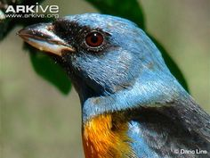 Close up of a male blue-and-yellow tanager