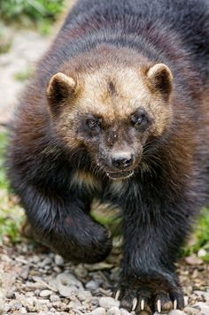 """WOLVERINE - Gulo gulo (Gulo is Latin for """"glutton"""") . Also the Glutton, Carcajou, Skunk Bear, Quickhatch . the largest land-dwelling species of the family Mustelidae (weasels) . Photo: Tambako the Jaguar Rare Animals, Animals And Pets, Wild Animals, Reptiles, Mammals, Amphibians, Wolverine Animal, Savage Animals, North American Animals"""