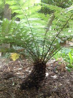 whekī-ponga (Dicksonia fibrosa)  ·  NatureWatch NZ