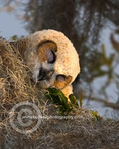 Shhhh - Great Horned Owl youngster settles down for a nap in the softness of the spanish moss.
