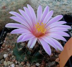 """Cactus.   (""""Turbinicarpus pseudomacrochele."""")"""