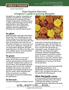Marigolds are some of the most rewarding, long lasting blooms in the garden. Patio Plants, Outdoor Plants, Garden Plants, Growing Marigolds, Growing Plants, Pergola Planter, Planters, Nitrogen Fixation, Growing Green Beans