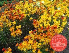 Biologische muurbloem heeft heerlijk geurende gevulde bloemen in verschillende tinten. Trekt bijen aan. Online verkrijgbaar bij De Bolster