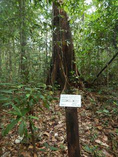 Iwokrama canopy walkway #Guyana & Iwokrama Canopy Walkway Guyana | Guyana | Pinterest | Walkways ...