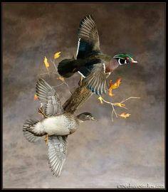 Beautiful wood duck pair mount