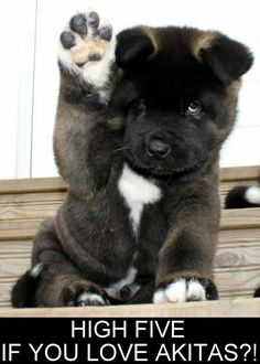 I had an akita. Very very sweet dog and huge.