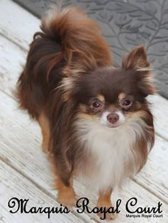 1000 images about long haired chihuahuas on pinterest