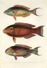 mastax, pseudoscarus nuchipunctatus, pseudoscarus pulchellus - high resolution image from old book. Rare Fish, Oriental, Fish Print, Pacific Ocean, Portrait, Prints For Sale, Antiques, Image, Antiquities