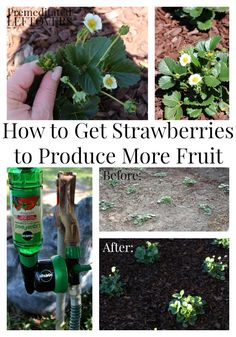 How to Get Strawberries to Produce More Fruit - gardening tips for making your strawberries produce more flowers and more fruit to increase your garden harvest. Strawberry Planters, Strawberry Garden, Fruit Garden, Edible Garden, Vegetable Garden, How To Plant Strawberries, Harvest Garden, Strawberry Fertilizer, Strawberry Plant Care