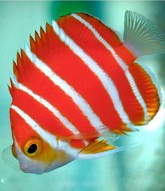 Peppermnt angelfish