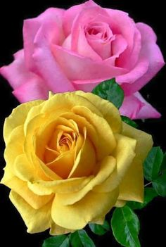 Yellow & pink roses