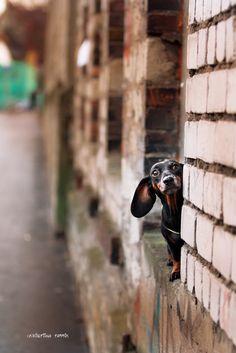 Oh, my Dachshund! What a cutie! Dachshund Funny, Dachshund Shirt, Mini Dachshund, Dachshund Puppies, Chihuahua, Daschund, Lab Puppies, I Love Dogs, Cute Dogs