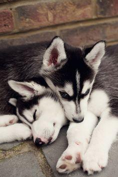 Sleepy Baby Huskys