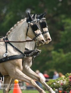 Horses :: Combined driving competition, Welsh Pony team hitch