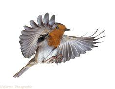 http://www.warrenphotographic.co.uk/09376-robin-flying