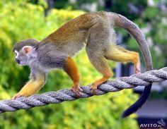 Беличья обезьянка саймири, 4 мес. ручной малыш