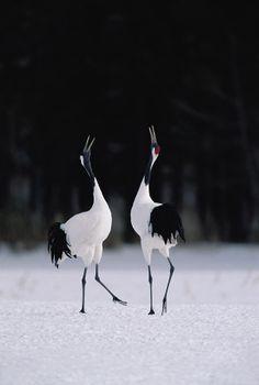 "Japanese Cranes (Red-crowned Crane), Hokkaido, Japan - ""The bird of happiness""."