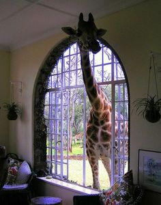 this must be from the giraffe hotel in Africa, I have a book on it, and some day I have to go there!