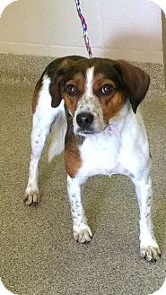 I am at a kill shelter in Troy, OH - Beagle Mix. Meet Calvin, a dog for adoption. http://www.adoptapet.com/pet/13706037-troy-ohio-beagle-mix