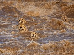 They are really not enjoying the plunge. Wild Life, Photo Animaliere, Top Photo, Kenya, National Geographic, Tarantula Hawk, Iberian Lynx, Fox Pups, History Museum
