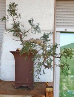 Juniperus Hetzii, comenzando desde un plantón de vivero