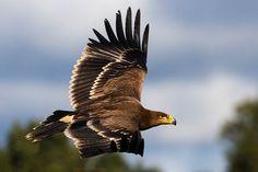 El Plan de Recuperación del Águila Imperial Ibérica consigue duplicar la población   SoyRural.es