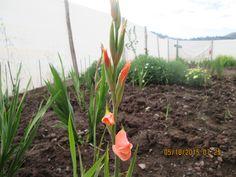 Un Gladiolo anaranjado.