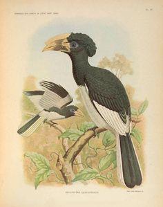 Remarques sur l'ornithologie de l'État indépendant du Congo : - Biodiversity Heritage Library