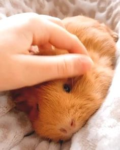 Baby Guinea Pigs, Guinea Pig Care, Baby Pigs, Guinea Pigs For Sale, Baby Bunnies, Baby Animals Pictures, Cute Animal Photos, Cute Little Animals, Cute Funny Animals