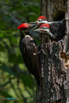 Pileated woodpeckers nest in our woods