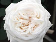 White Garden Rose cream ivory garden rose mythos | flowers | pinterest | ivory