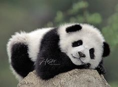 In China, Baby Panda Bears, Baby Pandas, Panda Babies, Giant Pandas, Beautiful Creatures, Animals Beautiful, Cute Baby Animals, Funny Animals
