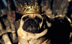 Daenerys Targaryen, the 'Mother of Dragons' from Meet the Pugs of Westeros Pugs Dressed Up, Funny Dogs, Cute Dogs, King Joffrey, Boxer Bulldog, Mother Of Dragons, Dog Costumes, Great Videos, Dog Houses