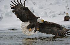 Desde Alaska Klaus Nigge nos trae las mejores fotos de la famosa águila calva: http://www.nationalgeographic.com.es/articulo/ng_magazine/reportajes/10455/aguila_calva.html…