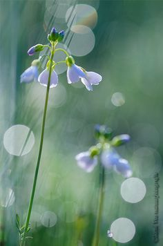 Cuckoo Flowers by RenVos Bokeh Photography, Photography Flowers, Wild Flowers, Canvas, Products, Sun Rays, Tatoo, Netherlands, Lawn And Garden