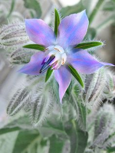 Borage (Borago officinalis) also known as Starflower - one of the edible plants in the garden - see which others ones are too. Plant borage near straw berries. The flowers are awesome flavor. Edible weeds and flowers Unusual Flowers, Amazing Flowers, Purple Flowers, Beautiful Flowers, Yellow Flowers, Spring Flowers, Pink Roses, Edible Plants, Edible Flowers