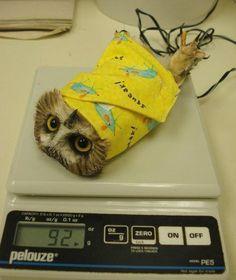 フクロウの体重の計りかた01