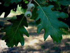 Herbario digital Xavier de Arizaga Quercus humilis