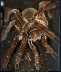 Burgundy Goliath Birdeater (Theraphosa stirmi ...