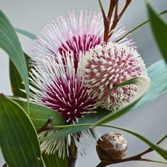 Hakea laurina  Stunning rose pink to red pincushion flowers with white to cream styles from early summer. A large rounded shrub with blue green foliage, ideal for hedges and borders. Prefers a full sun to part shade position in ...